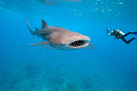 whale shark and underwater photographer