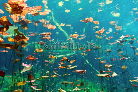 lily, pads, in, the, cenote, aktun - 9730438