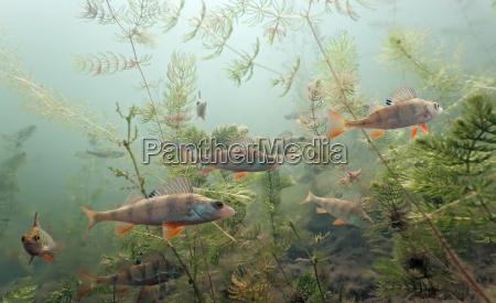 shoal of perch
