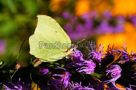 motyl cytrynowy