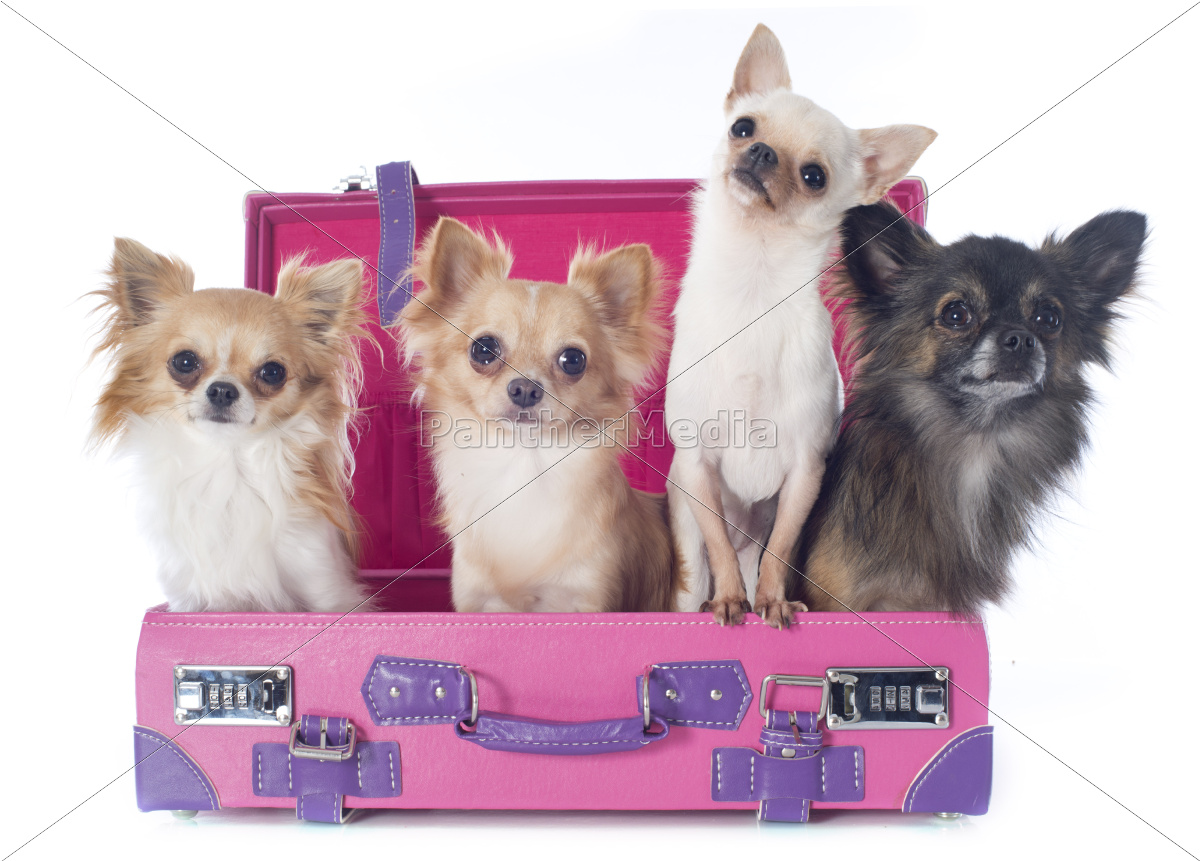 chihuahuas, w, walizce - 10007214