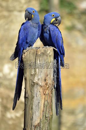 ptak hiacynt papuga