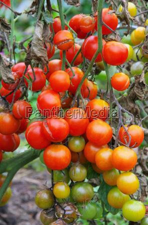 warzywo pomidor pomidory bok pomidorowa pomidorowy