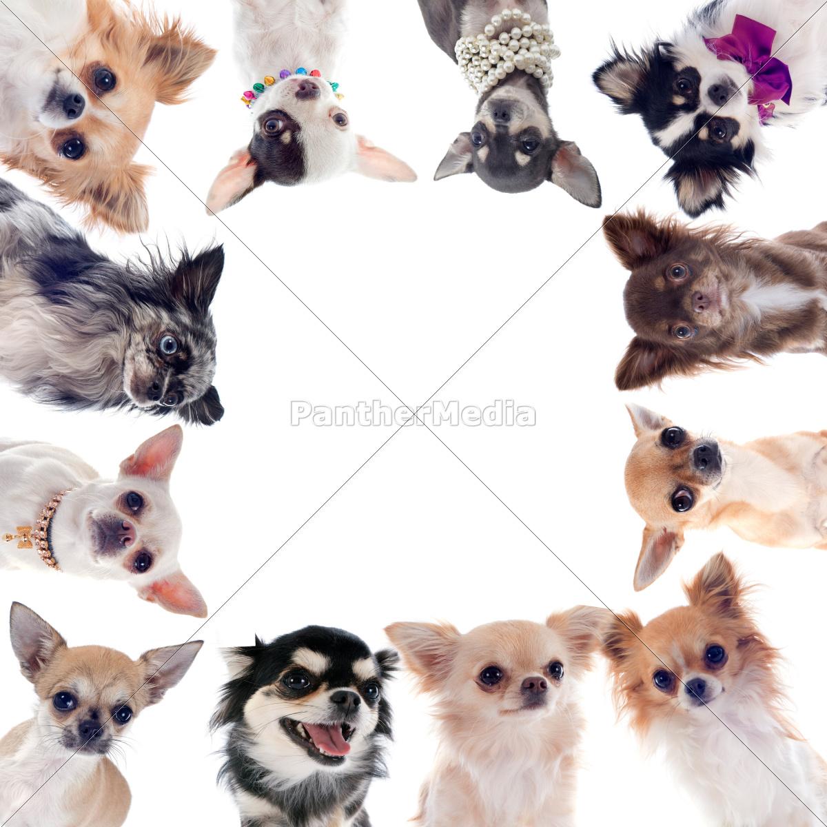 grupa, chihuahua - 10298583
