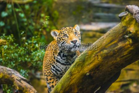 piekny jaguar zwierzat w jego naturalnych