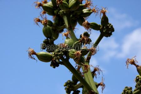 niebieski, kwiat, kwiatek, zawod, roślina, latorośl - 10820866