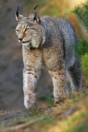 zwierze koty kot kot drapiezny rys