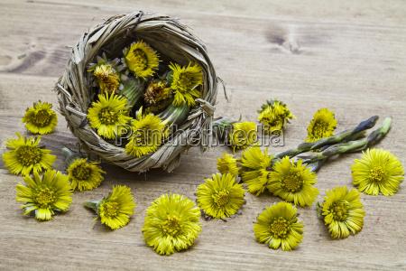 kwiaty huflattich