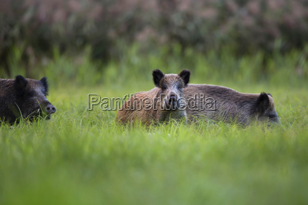 boars in the wild in a
