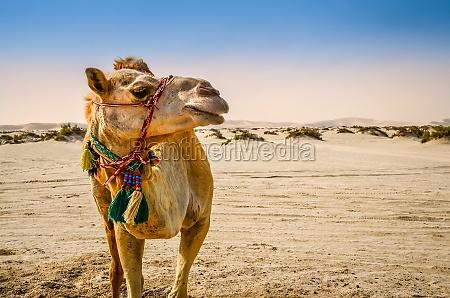 wielblad stojacych na pustyni odwracajac