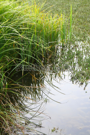 reeds na brzegu stawu