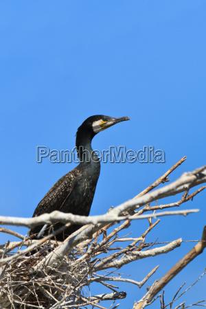 kormoran phalacrocorax carbo na gniezdzie