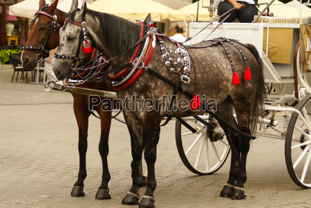 krakow poland horse drawn carriages with