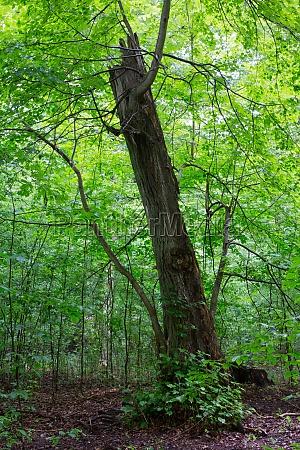 drzewo broken animowane zalamany w podeszlym