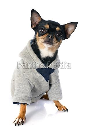ubrany chihuahua
