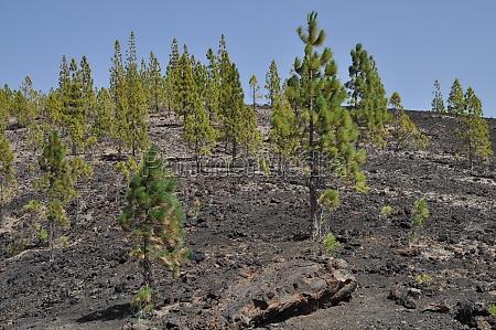 drzewo gory sosna kanarek teneryfa lawa