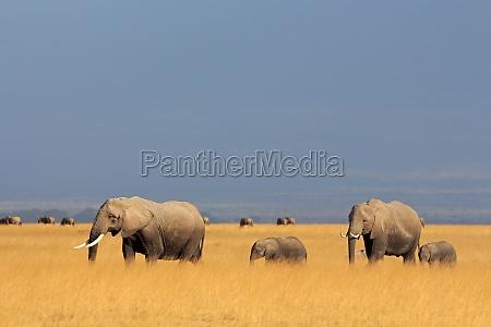 ssak afryka slon kenia przyrody ciele