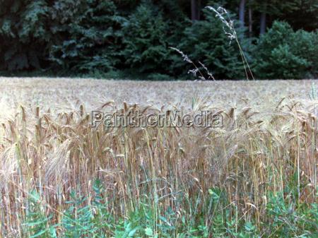 aehre pszenica pole pszenicy zboze zywnosc