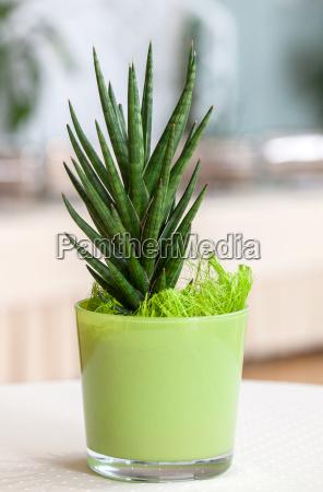 male houseplant w jasnozielonym doniczce