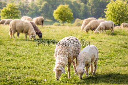 stada owiec w taunus