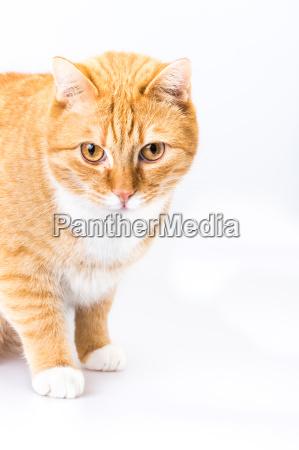 czerwony kot
