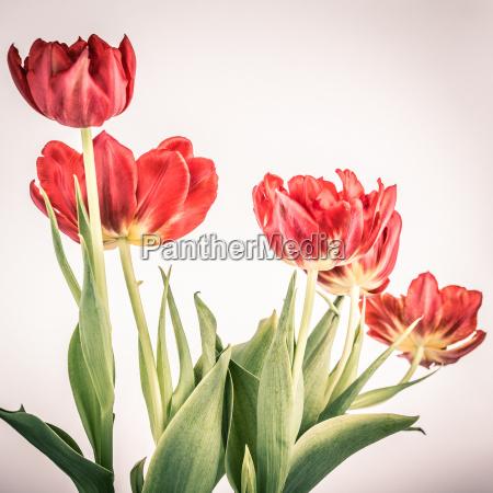 czerwone tulipany w starych