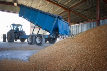 trailer emptying wheat grains