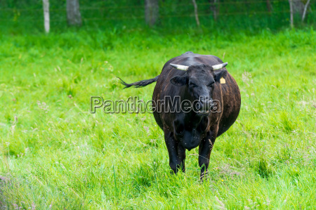 zwierze krowa farma gospodarstw ferma bydlo