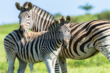 zebra kalb wildlife