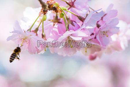 latajacy pszczola i rozowe kwiaty wisni