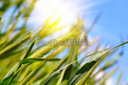 zbiory pszenicy na blekitne niebo ze