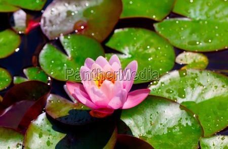 lilie wodne nymphaea w staw