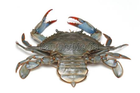 niebieski muszla pazur krab owoce morza