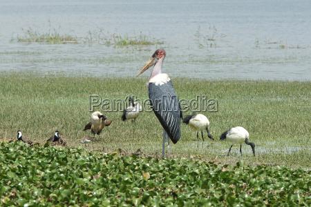 ptak afryka ptaki bocian ibis marabut