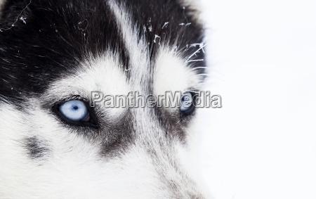 zblizenie psa husky dog niebieskie oczy