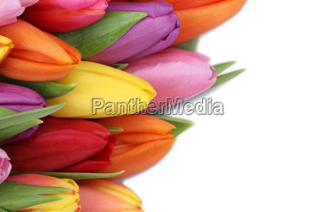 kwiaty tulipanow na wiosne lub dzien