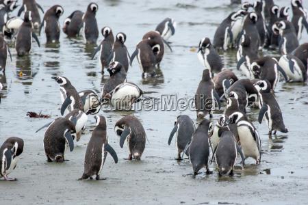 pingwiny stojacych na brzegu w chile
