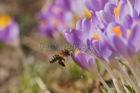 zblizenie pszczola przybywajacych do krokus flower