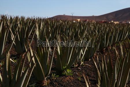 kanarek, roślina lecznicza, zawod, roślina, latorośl, wyspa - 14133139