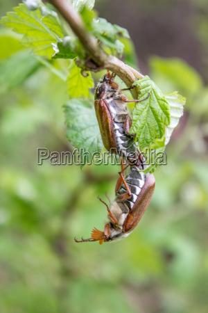 lisc zwierze owady insekty brazowy brazowe