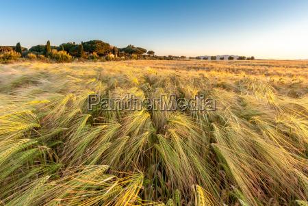 mlode pszenica rosnace w zielonym gospodarstwie