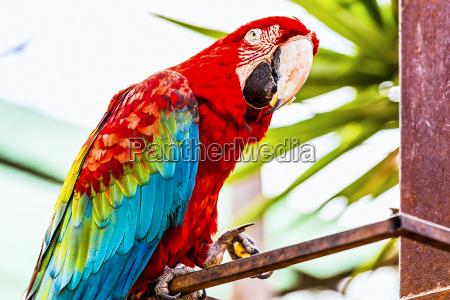 red ary lub ara kakadu papuga