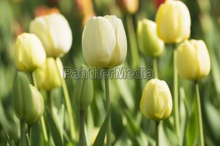 tulipanow w okresie wiosennym w parku