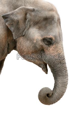 portret profilu slonia azjatyckiego