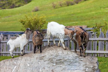 koza kozy podworko gospodarstw ferma dziedziniec