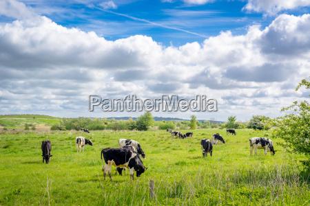 krowy wypasane w okresie letnim
