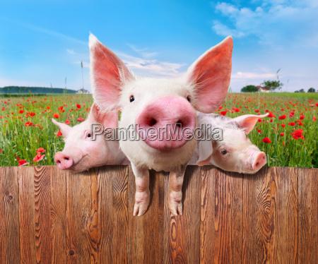 trzy urocze swinie ze wspanialej farmy