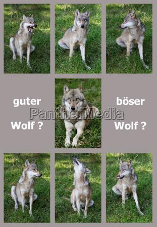 dobry wilk zly wilk