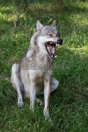 usta geba buzi zeby otwarty wilk
