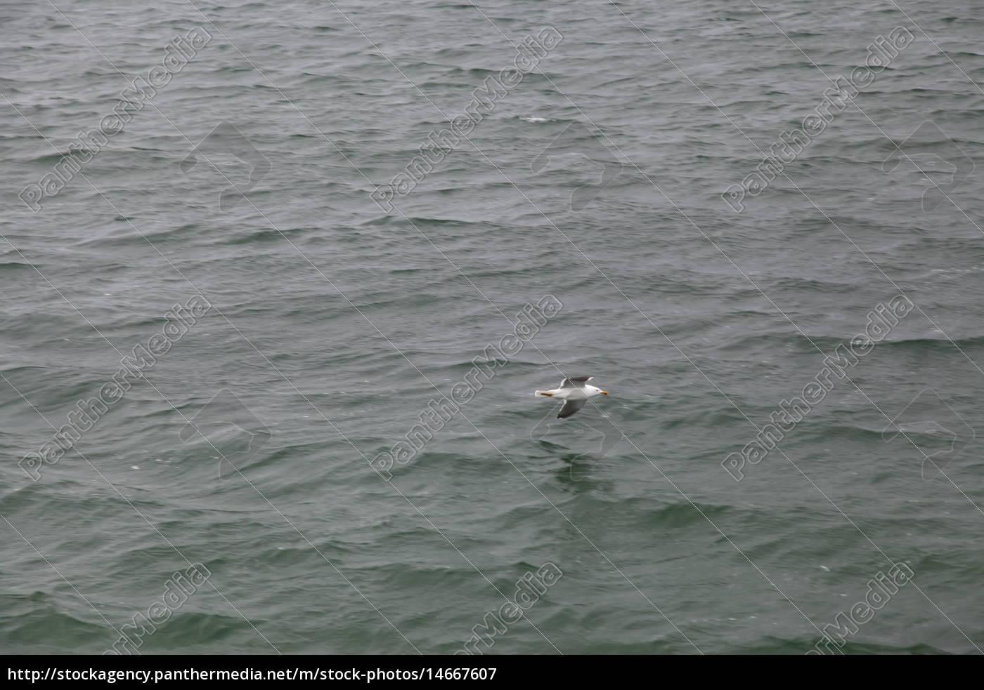 lot, zwierzę, ptak, woda, Morze Północne, morskich - 14667607